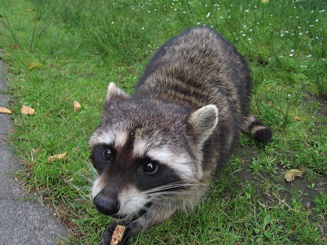 a_possibly_rabies_infested_racoon_at_stanley_park