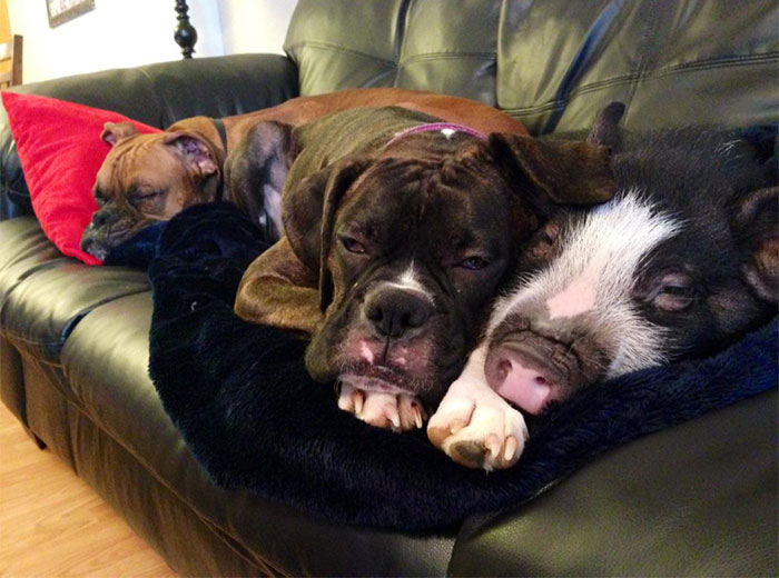 cute-dog-pig-virginia-4