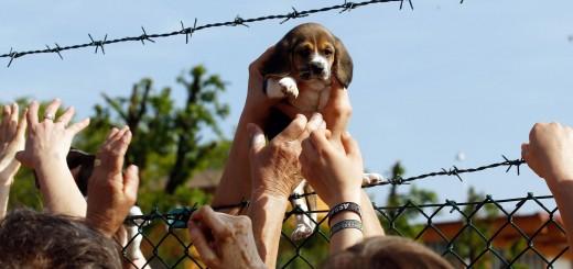 Un cucciolo di Beagle viene salvato da alcuni animalisti entrati nell'allevamento Green Hill di Montichiari, Brescia, 28 aprile 2012.  ANSA/FILIPPO VENEZIA