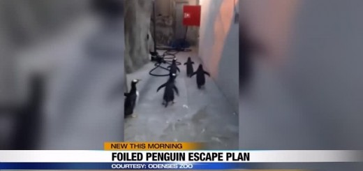 img-VIRAL-VIDEO-Penguin-escape-plan-foiled