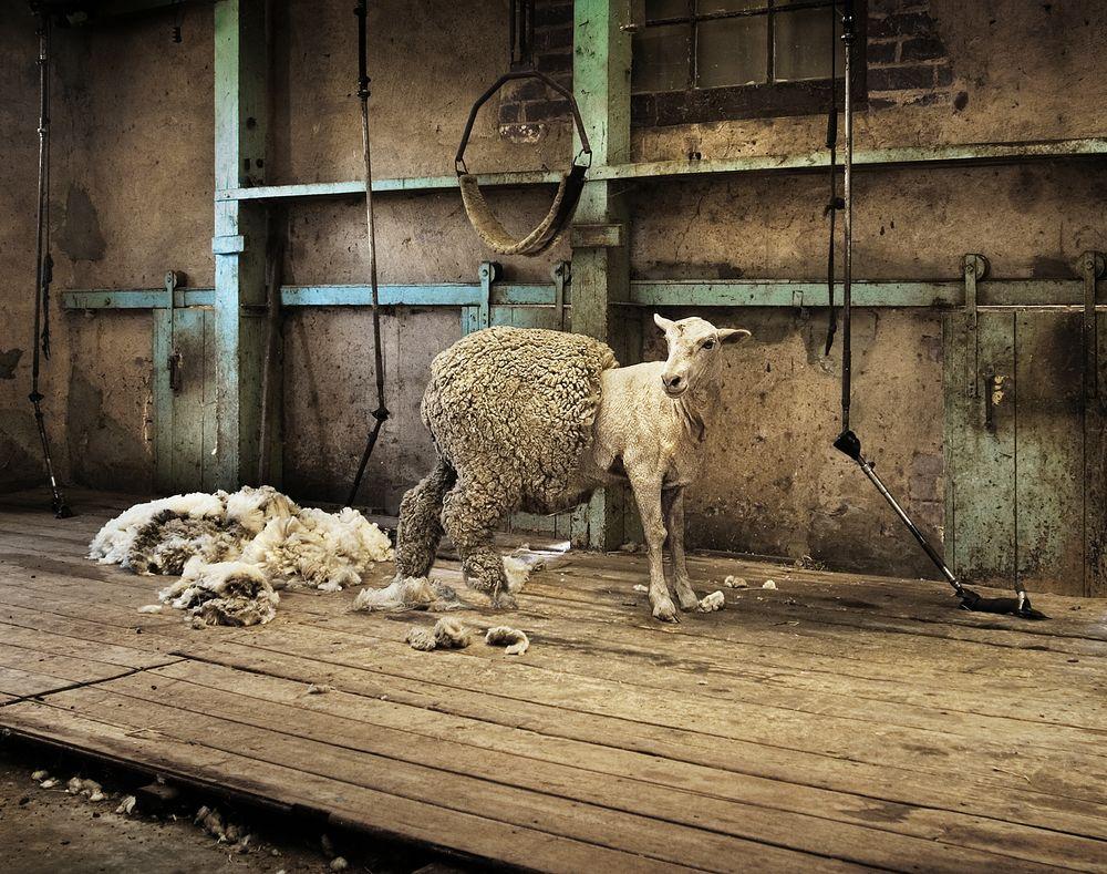 owce_lanolina1
