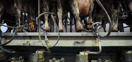 JMcArthur_DairyVealFarm_-0329
