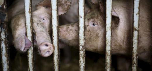confined-pigs-behind-bars-1024x682