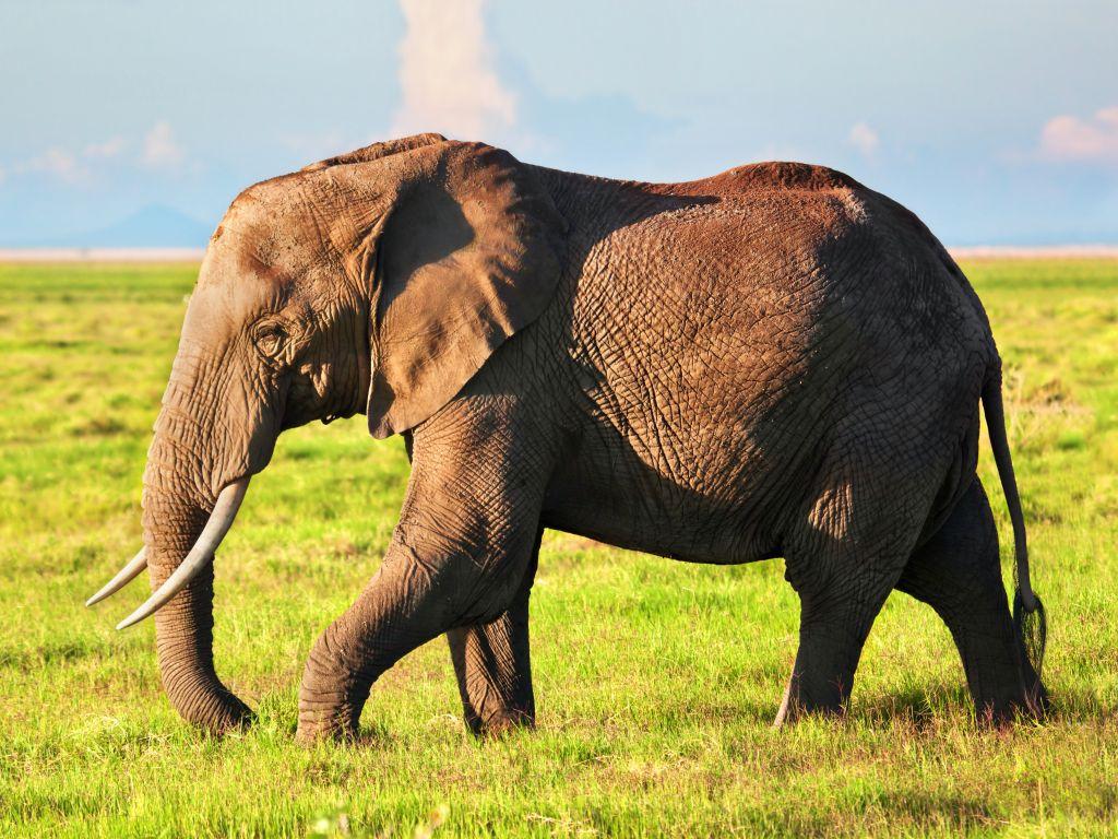 Elephant portrait on African savanna. Safari in Amboseli, Kenya, Africa