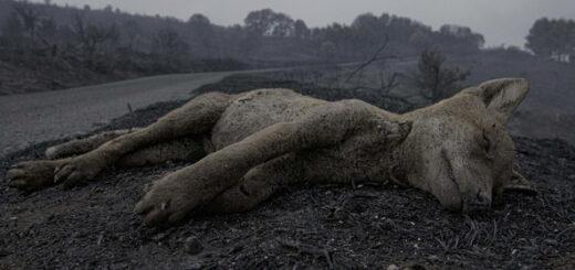 lis który zginął w pożarze na Sardynii